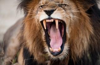 CITES mantiene al león africano en el Apéndice II