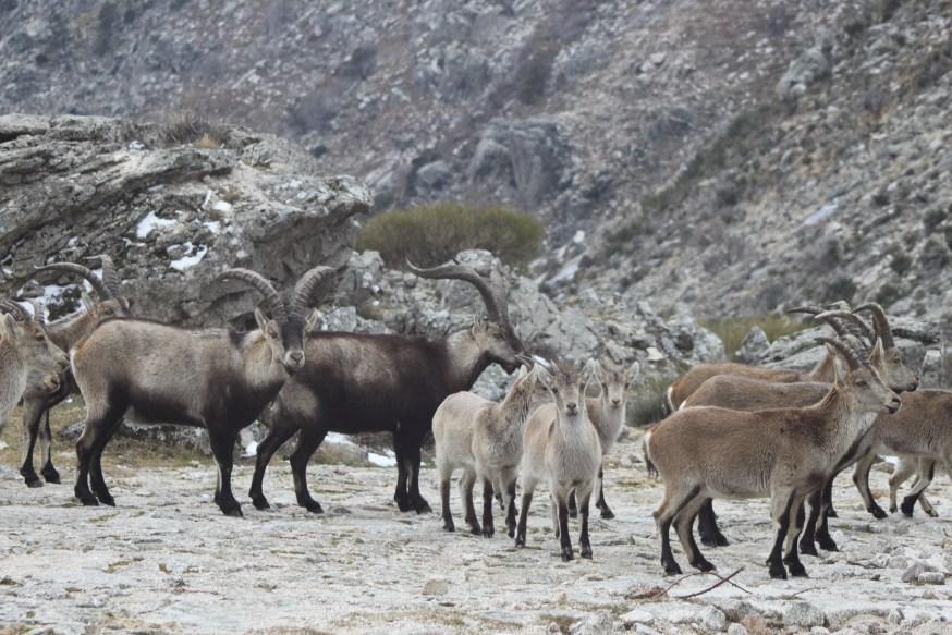 35-gredos-cabra-montes en calzada romana