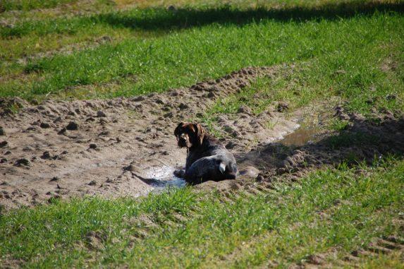braco alemán perro caza