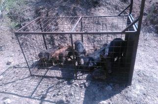 Los cazadores cuestionan las jaulas para jabalíes