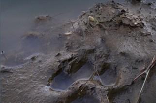 Lobos, linces y osos. Los grandes carnívoros a través de sus rastros