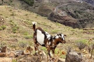 La Gomera: catalogar ganado asilvestrado como cinegético