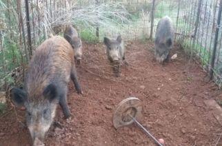 El Consell quiere capturar jabalíes con jaulas para frenar las batidas