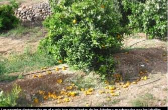 Valencia: manadas de jabalíes atacan cosechas de naranjas