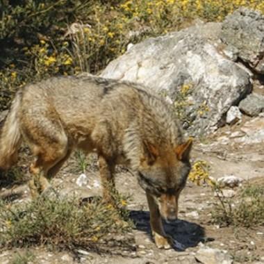 tribunal-lobo-Duero