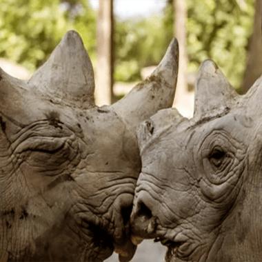 el furtivismo de rinocerontes