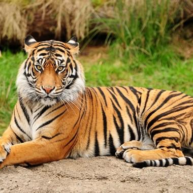 la población de tigres