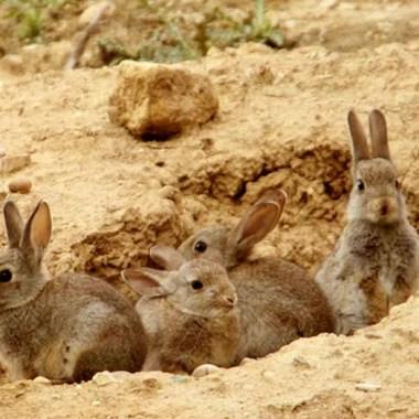 conejos en Aragón