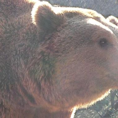 ataques de oso y lobo