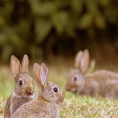 descaste de conejos