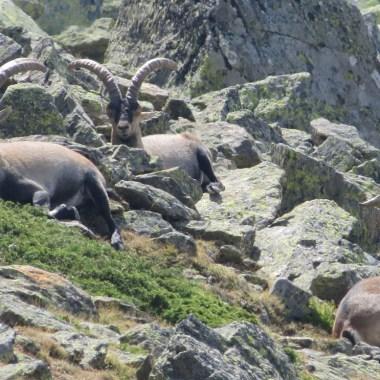 población de cabras