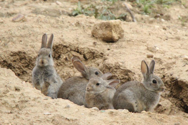 sobrepoblación de conejos