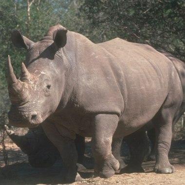 ADN rinoceronte