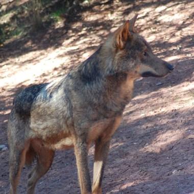 CCAA lobo