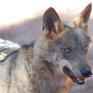 Fundación Artemisan lobo