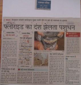 rajasthan patrika 30 may, 2011 fluoride animals