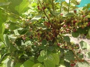 Phalsa orchard at KVK, Pali