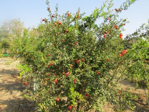 Pomegranate orchard at KVK, Pali