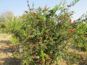 Pomegranate orchard at KVK, Pali