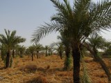 Date palm orchard at KVK, Pali