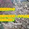 越生梅林梅まつり2019/開花状況や駐車場・アクセス情報!混雑状況も確認!