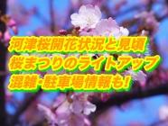 河津桜2020開花状況と見頃は?桜まつりのライトアップ・混雑・駐車場情報も!