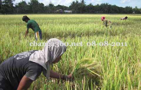 IBON: President Cited Misleading and Faulty Rice Data in SONA