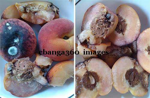 2014_0601_rotten peaches