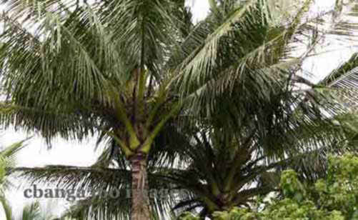 2014_1127_coconut2