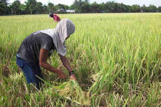2016_0116_calabanga-farmer-harvest