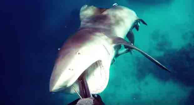 Bull shark attacks spear fisherman in heart-pounding footage