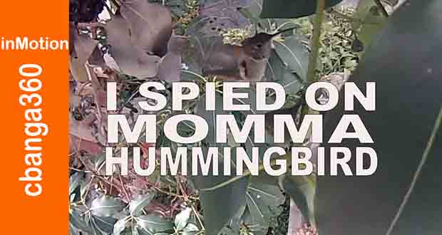 momma hummingbird nesting