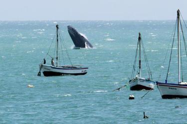 Baleine Perou