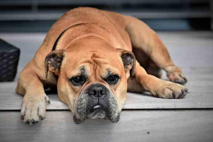 CBD Dog Health Achy Dog