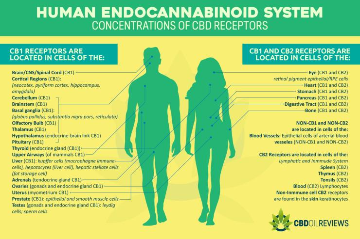 Human Endocannabinoid System