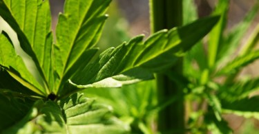 Cannabinoids Explained