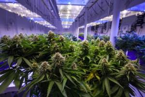 california cannabis industry