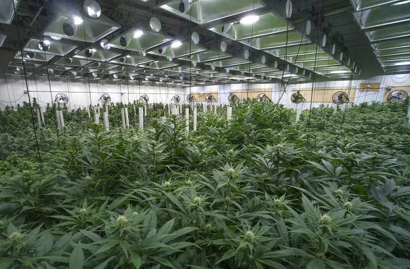 Cannabis Supply Shortages Abound In Newly Established Recreational Markets