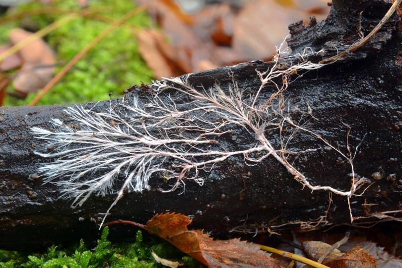 Mycorrhiza fungi