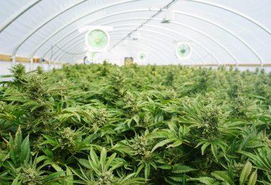 illegal cannabis