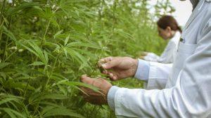 where cannabis originate