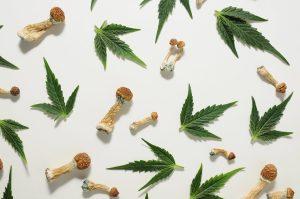 cannabis and psilocybin research