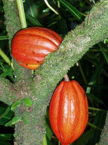 Cacao Pods on Tree (Used with permission.)
