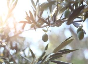 epoca Floracion del olivo