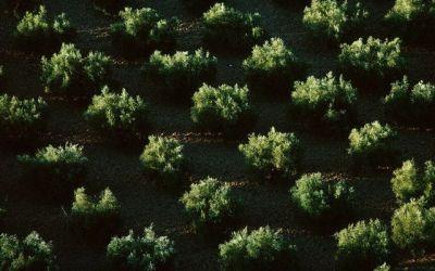 Por qué más olivos paliarían los efectos del cambio climático