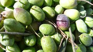 La incidencia del cambio climático en las plantaciones de olivar