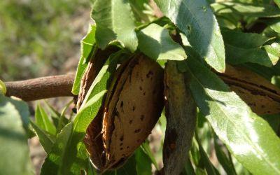 Plantaciones de almendro. Propiedades nutricionales de la almendra.