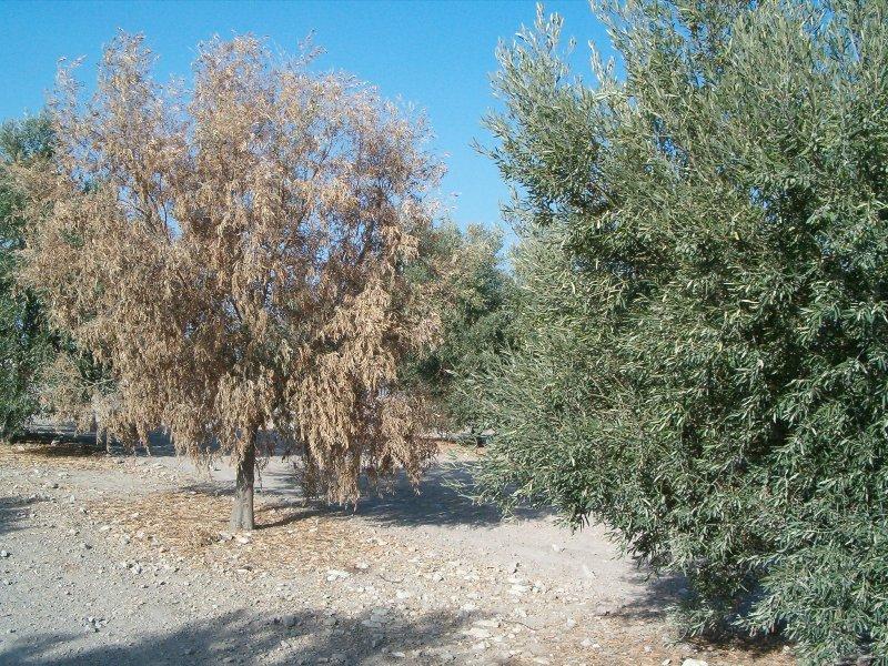 verticilosis olivo