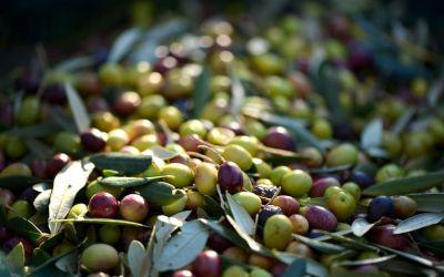 ¿Conoces la diferencia entre las aceitunas verdes y negras?