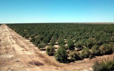 La importancia de la poda en el olivar